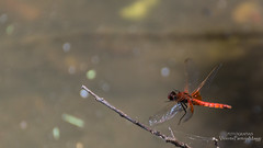 Arriving (VPMPhoto) Tags: chile wild nature animal animals fauna insect fly flying dragonfly sony sp di animales slt usd insecto 70300 tarmon a37