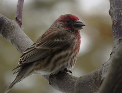 Male House Finch (Trish Overton) Tags: male bird birds seed finch housefinch in evansvillein