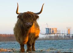 Vache Highland (Philippe POUVREAU) Tags: canon cow ngc highland loire vache digue loireatlantique 2013 550d corsept