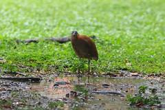 黑冠麻鷺 Photo
