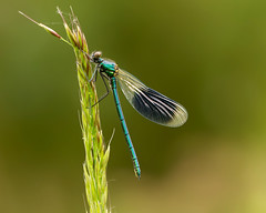 Banded Demoiselle (Andrew Haynes Wildlife Images) Tags: