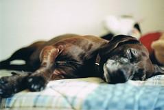 Sleepy you (Marta Marcato) Tags: dog cane analog sleep sleepy dormire analogcamera assonnato