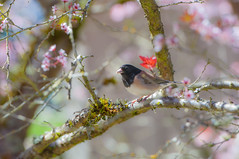 """""""...and my bird can sing"""" (roger reyes) Tags: trees bird daylight spring blossoms depthoffield cherryblossoms springflowers"""