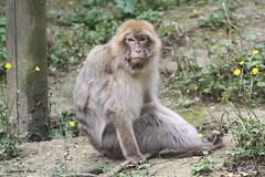 Macaque de Barbarie (Passion Animaux & Photos) Tags: primate singe magot macaque barbarie barbarymacaque parc auxois france