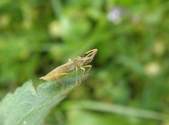 Syromastus rhombeus (rockwolf) Tags: syromastusrhombeus coreidae punaise hemiptera heteroptera insect latrinitésurmer bretagne brittany morbihan france 2013 rockwolf