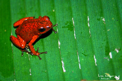 Strawberry Poison Frog (Oophaga  pumilio) (jasonweigner) Tags: amphibian animals bluejeans centralamerica costarica dart dendrobates green herp herpetology leaf nature oophaga puerto red strawberry viejo wildlife frog poison pumilio