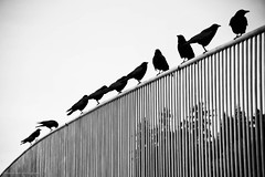 eleven (bluechameleon) Tags: sharonwish birds blackandwhite bluechameleonphotography bokeh bw canada crows curve feathers fence lines pacificnorthwest silhouettes trees vancouver wings winter