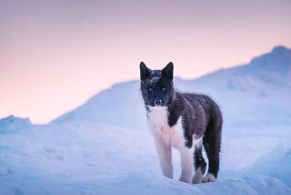Arctic Friend
