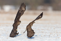 In those words of Bowie - 'Let's Dance' (Mr F1) Tags: buzzard buteobuteo johnfanning davidbowie letsdance bif birdsinflight bop birdsofprey wings landing feathers outdoor dancing unison together nature wild