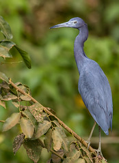 Little Blue Heron-5387.jpg (donnatopham) Tags: transpantanera pantanal littleblue heron brazil