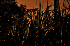 high gras (bauhol) Tags: bambus bamboo gras night lowlight