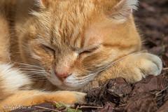 Week 12, 3x50 project (cindydebree.nl) Tags: 3x50 2017 kat kater rodekater red cat catface feline slapen sleeping lazy catbehaviour portret portrait 50mm18stm 50mm canonnl canoneos80d