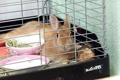 Ichigo san 617 (Ichigo Miyama) Tags: いちごさん。うさぎ。 rabbit bunny netherlanddwarf brown ichigo ネザーランドドワーフ ペット いちご うさぎ