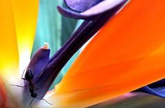 Bird-of-paradise flower, (Strelitzia reginae) (Sriini) Tags: orange blue flower mondays macro macromondayorangeandblue orangeandblue macromondays ant birdofparadise exotic india