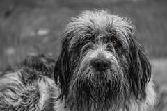 Sad (Ilyan Declan McCann) Tags: dog animal furr eye blakandwhite coloursplashwithmonochrome