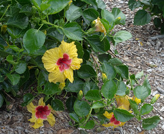 Hibiscus (idunbarreid off / on) Tags: hibiscus