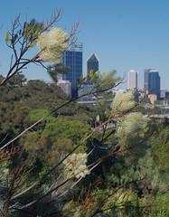 Grevillea leucopteris, Kings Park, Perth, WA, 14/12/16 (Russell Cumming) Tags: plant grevillea grevillealeucopteris proteaceae kingspark perth westernaustralia