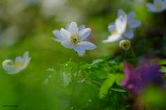 Jour de printemps dans les Pyrénées (jpto_55) Tags: fleur anémone proxi bokeh xe1 fuji fujifilm fujixf55200mmf3548rlmois ariège france