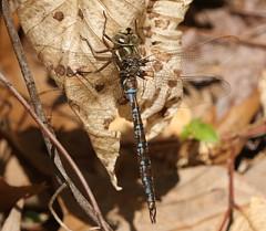 Springtime Darner (Basiaeschna janata) Male (Rezamink) Tags: basiaeschnajanata springtimedarner dragonflies odonata usa