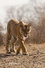 1646 Day 8 Tigers (brads-photography) Tags: headon india male mouthopen nationalpark pantheratigristigris rajasthan ranthambore royalbengaltiger sawaimadhopur starmale t28 tiger tigerreserve walking wildlife