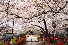 Sakura at shrine (Teruhide Tomori) Tags: 京都 六孫王神社 日本 灯篭 桜 ソメイヨシノ 春 kyoto cherry sakura spring tradition flower japon japan shrine