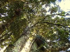 Jackwood (Cryptocarya glaucescens) (Poytr) Tags: jackwood sassafras goldensassafras orchidaceae orchid doryphorasassafras monimiaceae cryptocarya cryptocaryaglaucescens brownbeech doryphora lauraceae comboyne farmtree elkhornfern platyceriumbifurcatum platycerium polypodiaceae sarcochilusfalcatus sarcochilus orangeblossomorchid arfp nswrfp qrfp arffern arfepiphyte tree rainforest farm warmtemperaterainforest warmtemperatearf australianrainforesteducation