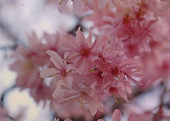 Pink Blossoms ... (MargoLuc) Tags: pink cherry blossoms tree spring season beautiful lovely blue sky petals bokeh light days backlight outside flowers