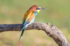 Abejaruco (sergio estevez) Tags: aves abejaruco azul bokeh color campodegibraltar desenfoque amarillo fauna rojo kenko15x luz naturaleza naranja nikonafs300mmf4 posadero pajaros verde sergioestevez