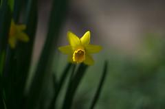 daffodil impression (ΞSSΞ®®Ξ) Tags: ξssξ®®ξ pentax k5 flower angle 2017 bokeh smcpentaxm50mmf17 yellow green depthoffield plant blossom garden outdoor daffodil narcissus têteàtêtedaffodil abstract blur
