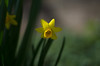 daffodil impression (Stefano Rugolo) Tags: pentax k5 flower angle 2017 bokeh smcpentaxm50mmf17 yellow green depthoffield plant blossom garden outdoor daffodil narcissus têteàtêtedaffodil abstract blur stefanorugolo
