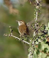 Bewick's Wren--Thryomanes bewickii (Polioptila caerulea) Tags: wren songbird bewickswren thryomanesbewickii thryomanes southponderosaway nevadacounty california bewr