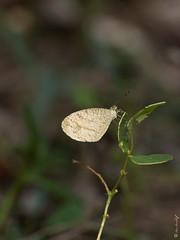 Leptosia nina (Makromaus_Ahrweiler) Tags: leptosianina psyche pieridae weislinge lepidoptera schmetterlinge butterflies butterfly makro macro naturaufnahme nature thailand prachuapkhirikhan paknampran