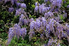 Wisteria (Caulker) Tags: canonspark wisteria глициния 22042017
