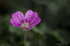 macro_DSC2859 (kbl phtogaphy) Tags: macro flor naturaleza nikon