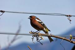 Fringuello (Jessica Peruzzo) Tags: uccelli fringuello