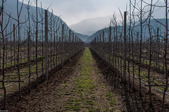 mela / Apfel / apple (zora_schaf) Tags: valsugana trentino italien italia mountain mela apfel apple obstplantage obstbäume zoraschaf view perspektive südtirol