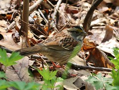 White-throated Sparrow (tombenson76) Tags: whitethroatedsparrow zonotrichiaalbicollis corearboretum