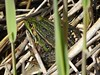 kikker (Omroep Zeeland) Tags: amfibieen