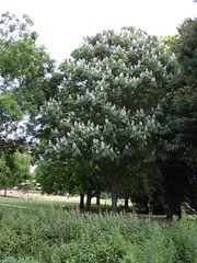 horse_chestnut_indian (Hall Place Idler) Tags: chestnut indian aesculus hippocastanaceae hallplace