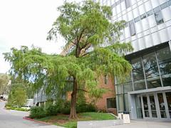 Montezuma Bald Cypress (DemoDataServices) Tags: sanluisobispo california unitedstates