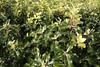Pittosporum tenuifolium 'Gold Star' (MGormanPhotography) Tags: pittosporum tenuifolium goldstar pittosporaceae tawhiwhi kohuhu green lime foliage red dark stem