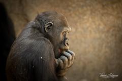 Little Joanne (ToddLahman) Tags: littlejoanne joanne westernlowlandgorilla gorilla beautiful portrait closeup sandiegozoosafaripark safaripark canon7dmkii canon canon100400 mammal outdoors escondido