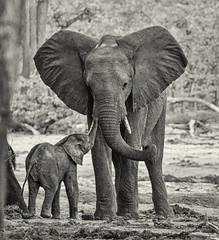 Mother love (rachelsloman) Tags: bw elephant kwai botswana mother love