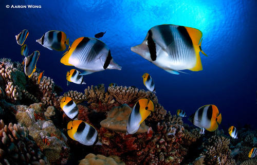 Butterfly Fish © Aaron Wong