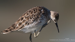 Combattant varié (gilbert.calatayud) Tags: charadriiformes combattantvarié philomachuspugnax ruff scolopacidés bird oiseau laddo mazères ariège
