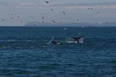 Whale Watching (Vicki Dixon) Tags: humpbackwhales dolphins seagulls pelicans ocean