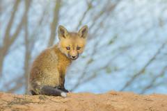 Precious Babies (Amy Hudechek Photography) Tags: fox kit baby wildlife nature amyhudechek spring colorado