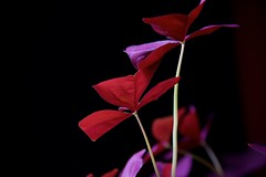 Purple on Top, Red on the Bottom (The Good Brat) Tags: oxalis triangularis houseplant red purple shamrock drama dramatic