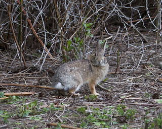 Wasscally Whidbey Wabbit