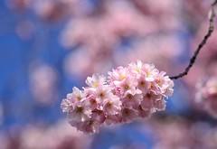 friday's flower power (frankvanroon) Tags: fridaysflowerpower flower blossom pink bokeh inbloom bloesem bloesemtak